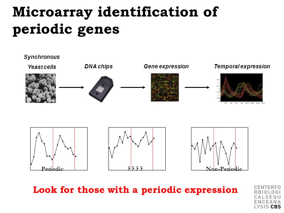 Microarray identification of periodic genes