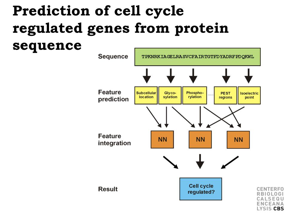 Prediction of cell cycle regulated genes from protein sequence