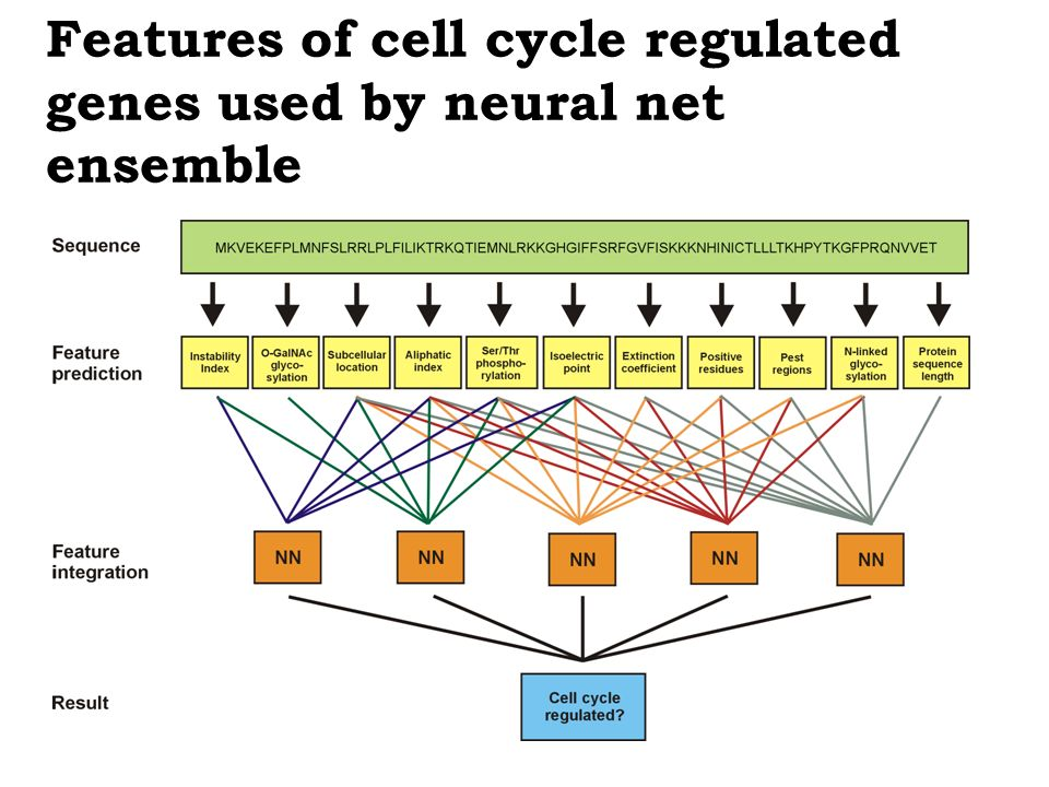 Features of cell cycle regulated genes used by neural net ensemble