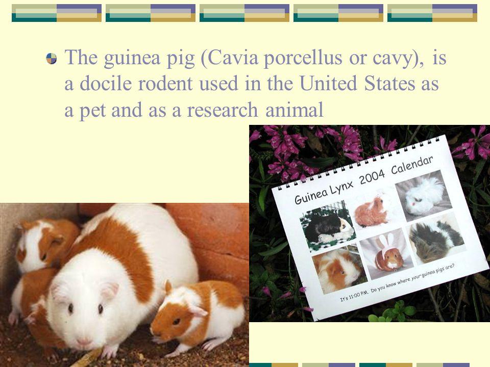 Guinea Pig Cavia porcellus - ppt video online download