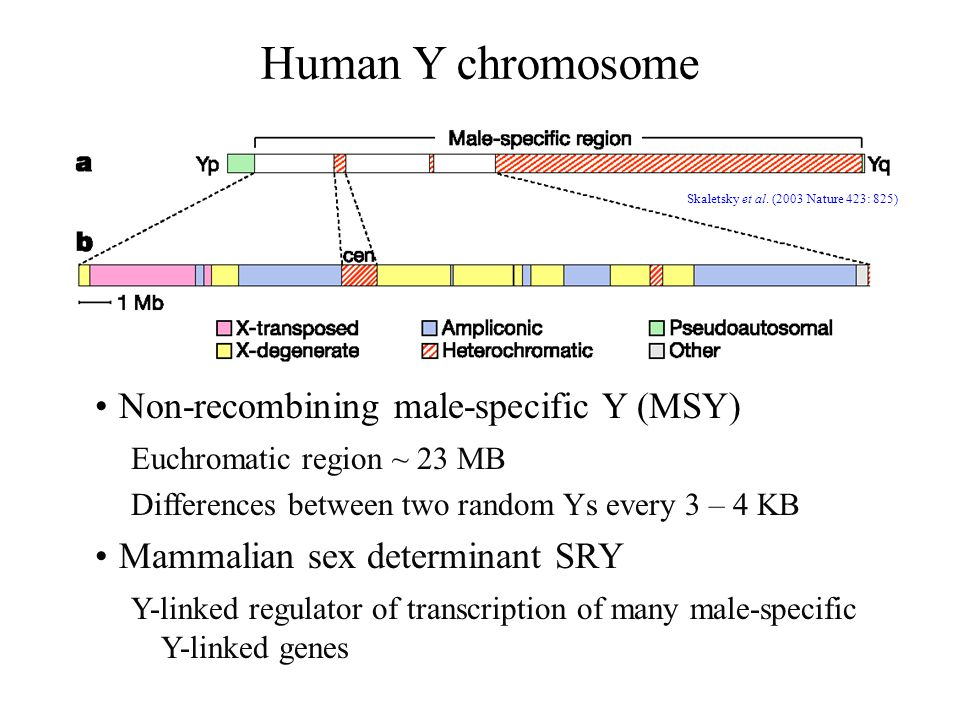 Human Y chromosome Non-recombining male-specific Y (MSY)