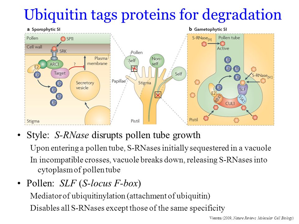 Ubiquitin tags proteins for degradation