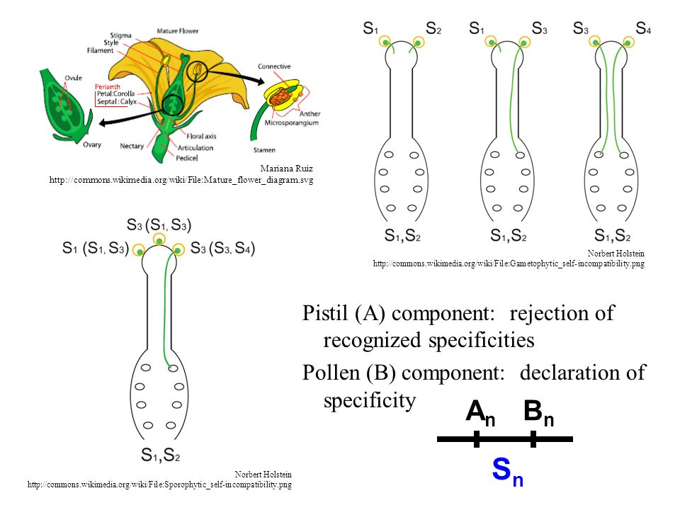 Sn An Bn Pistil (A) component: rejection of recognized specificities