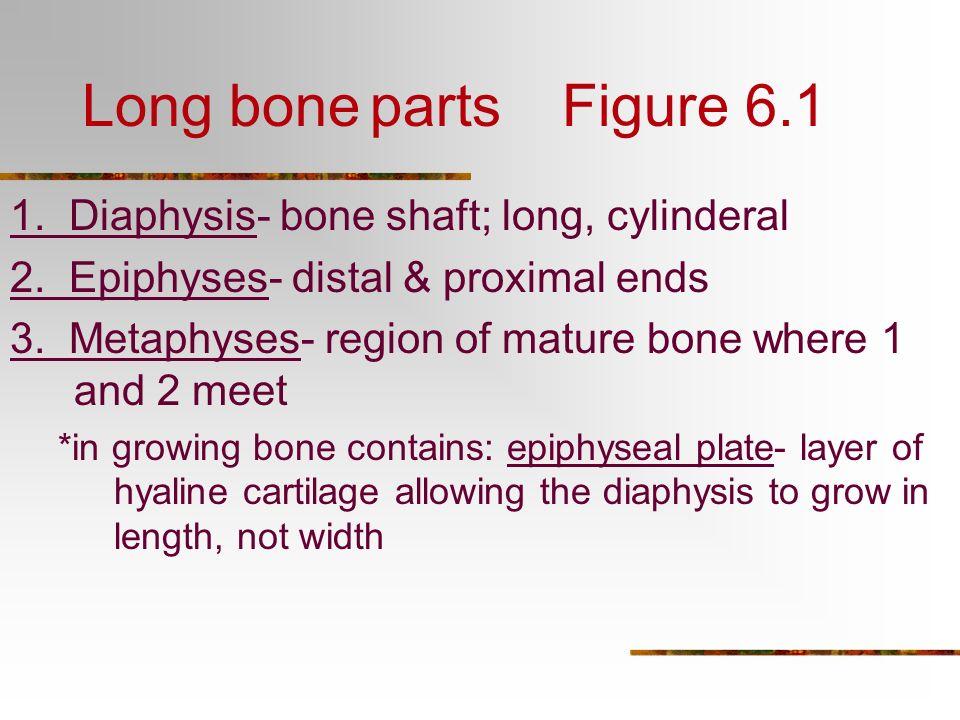 how to grow bones in length