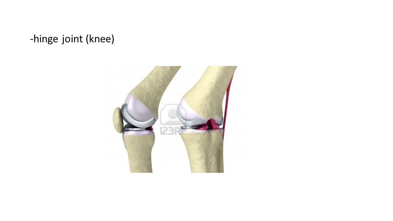 CHAPTER 36 – SKELETAL, MUSCULAR, AND INTEGUMENTARY SYSTEMS ... Hinge Joint Knee
