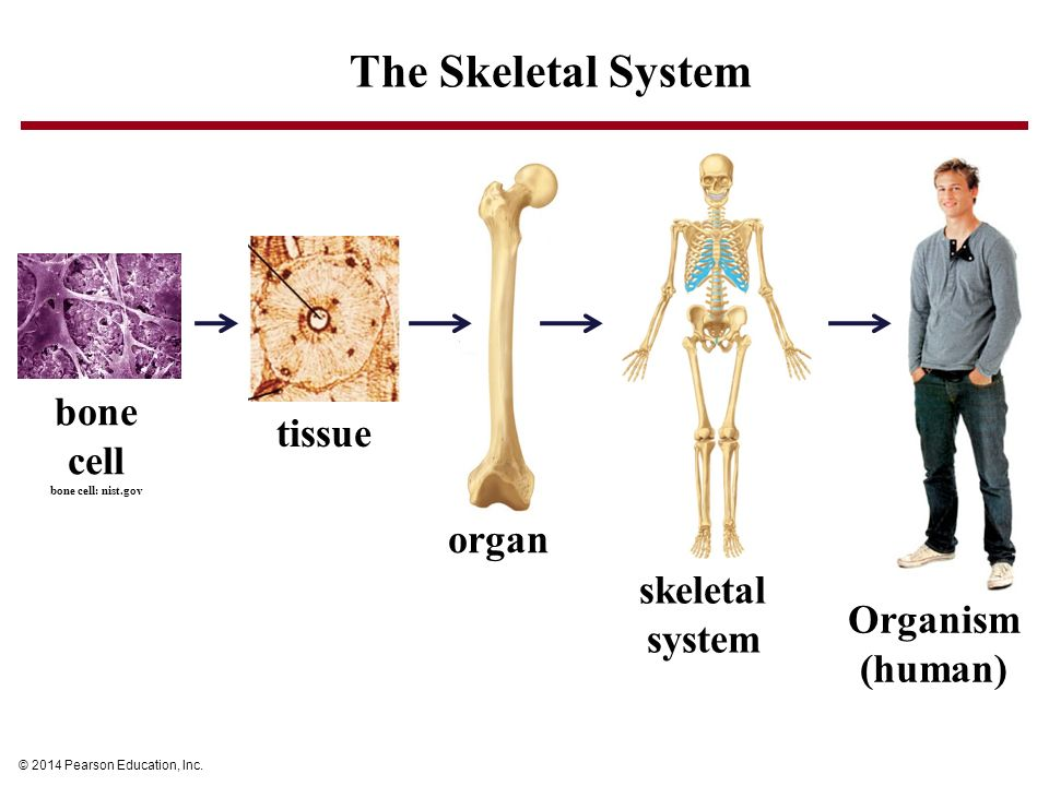 Attractive Organs In Skeletal System Motif - Human Anatomy Images ...