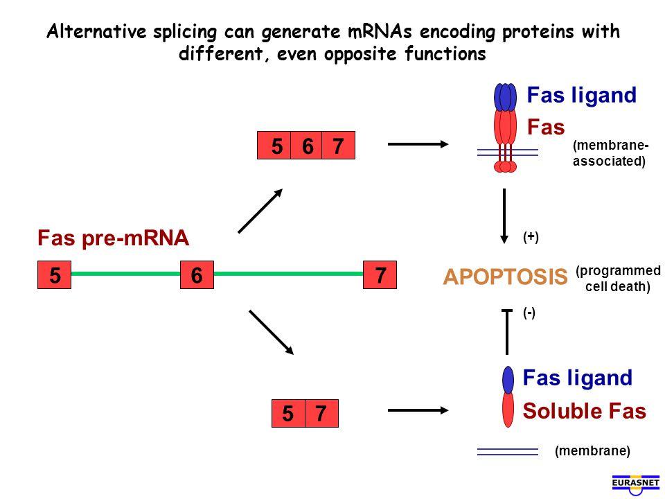 Fas Fas ligand 7 6 5 6 5 7 Fas pre-mRNA APOPTOSIS Fas ligand