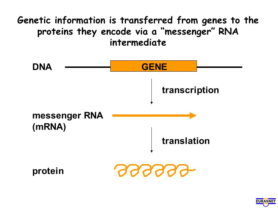 Genetic information is transferred from genes to the proteins they encode via a messenger RNA intermediate