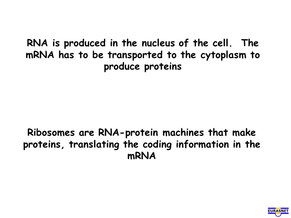 RNA is produced in the nucleus of the cell
