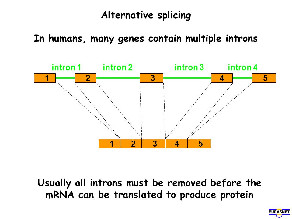 Alternative splicing In humans, many genes contain multiple introns
