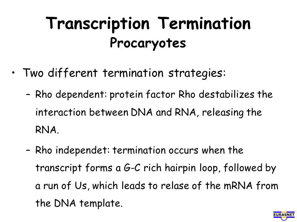 Transcription Termination Procaryotes
