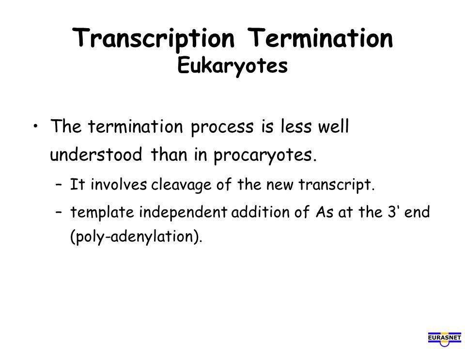 Transcription Termination Eukaryotes