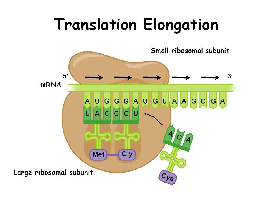 Small ribosomal subunit