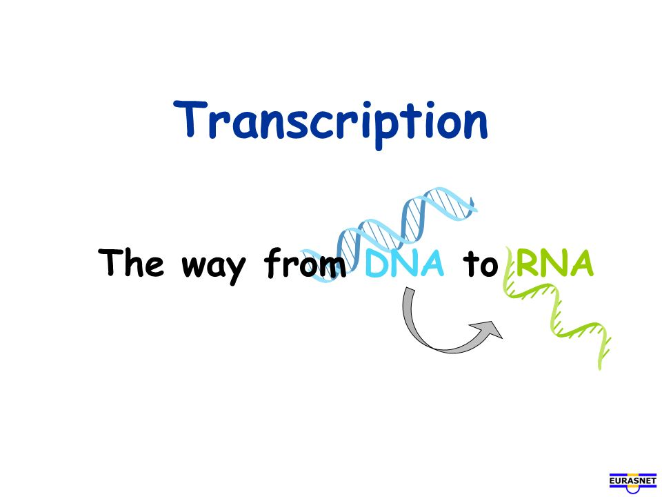 Transcription The way from DNA to RNA