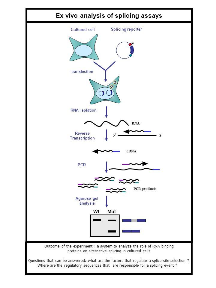 Reverse Transcription Ex vivo analysis of splicing assays