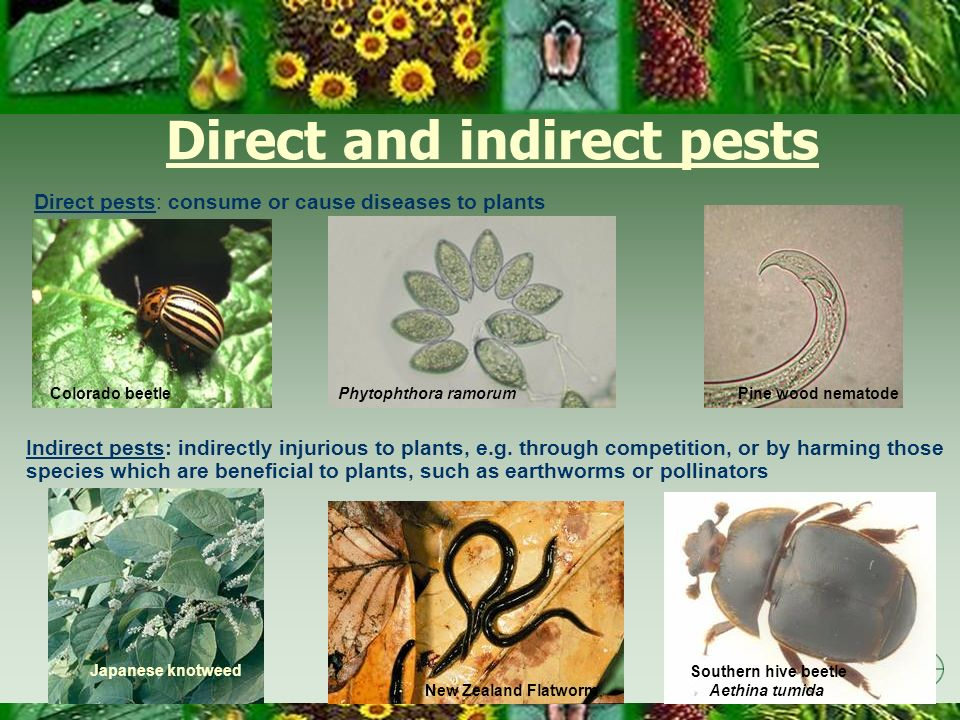 Direct and indirect pests