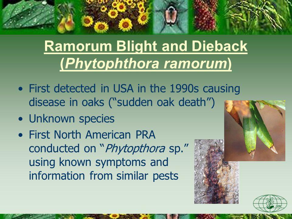 Ramorum Blight and Dieback (Phytophthora ramorum)
