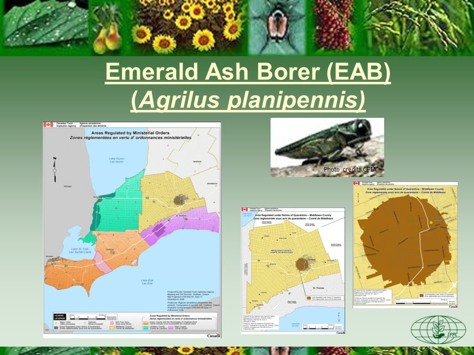 Emerald Ash Borer (EAB) (Agrilus planipennis)
