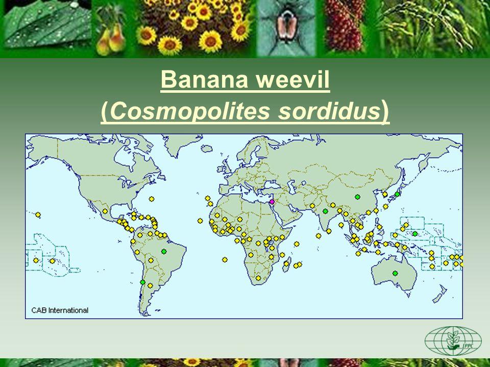 Banana weevil (Cosmopolites sordidus)