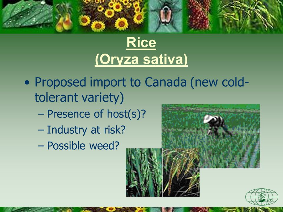 Day One 3/28/2017. Rice (Oryza sativa) Proposed import to Canada (new cold-tolerant variety) Presence of host(s)
