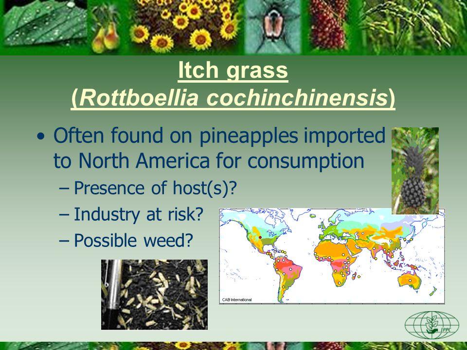 Itch grass (Rottboellia cochinchinensis)