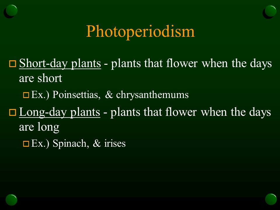 Photoperiodism Short-day plants - plants that flower when the days are short. Ex.) Poinsettias, & chrysanthemums.