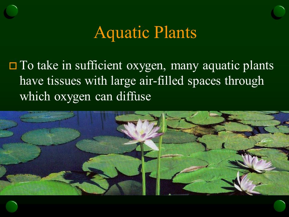 Aquatic Plants To take in sufficient oxygen, many aquatic plants have tissues with large air-filled spaces through which oxygen can diffuse.