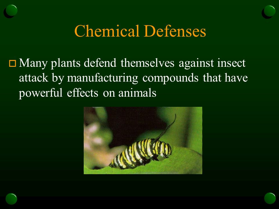 Chemical Defenses Many plants defend themselves against insect attack by manufacturing compounds that have powerful effects on animals.