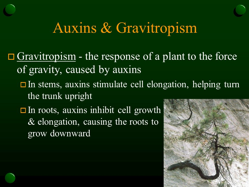 Auxins & Gravitropism Gravitropism - the response of a plant to the force of gravity, caused by auxins.