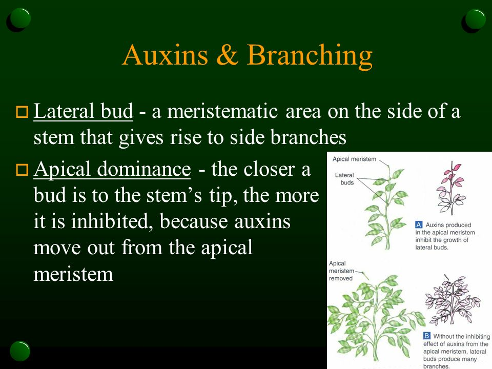 Auxins & Branching Lateral bud - a meristematic area on the side of a stem that gives rise to side branches.