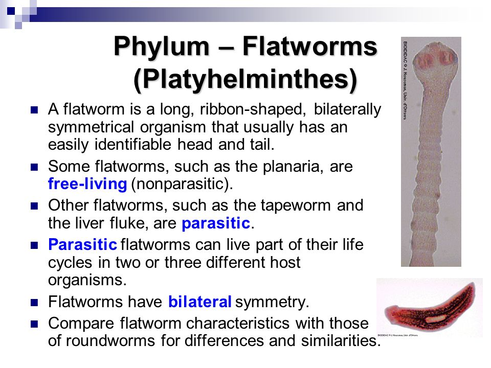 Phylum – Flatworms (Platyhelminthes)