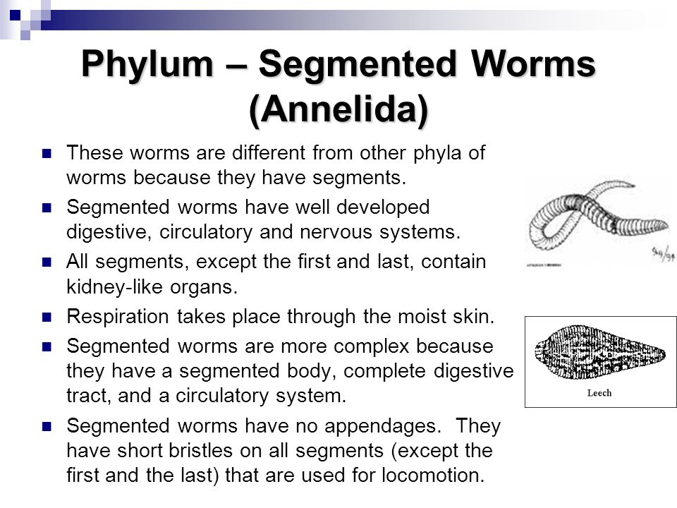 Phylum – Segmented Worms (Annelida)