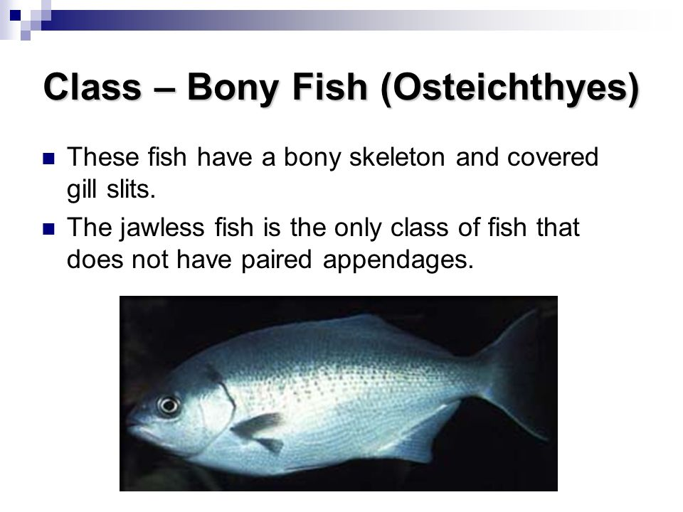 Classification organization ppt download for Bony fish characteristics