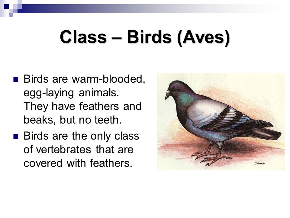 Class – Birds (Aves) Birds are warm-blooded, egg-laying animals. They have feathers and beaks, but no teeth.