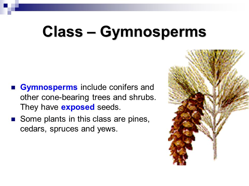 Class – Gymnosperms Gymnosperms include conifers and other cone-bearing trees and shrubs. They have exposed seeds.