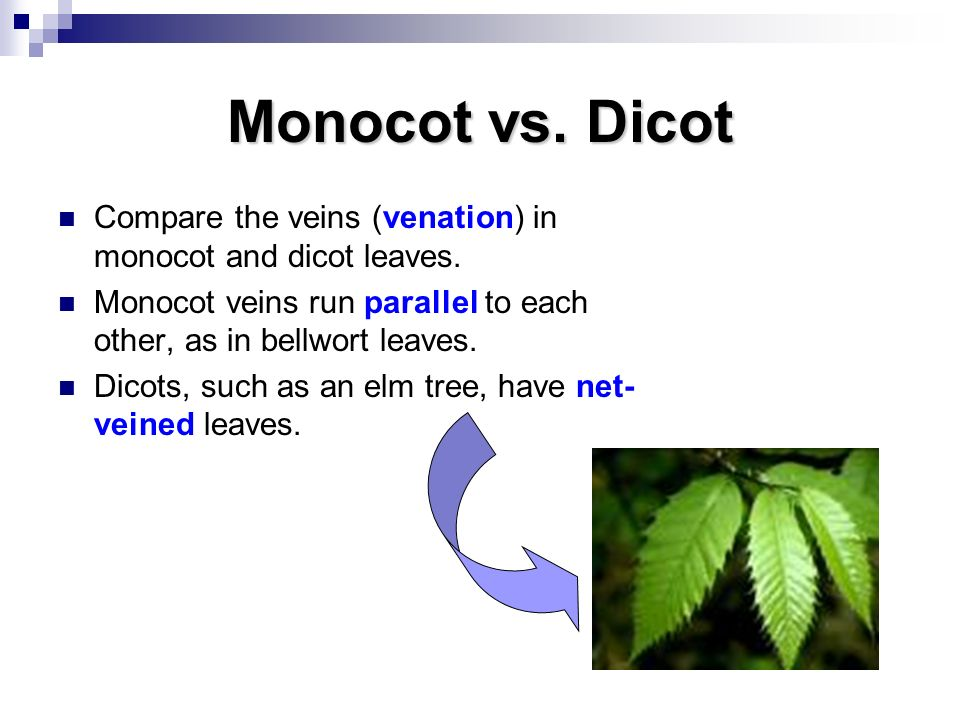Monocot vs. Dicot Compare the veins (venation) in monocot and dicot leaves. Monocot veins run parallel to each other, as in bellwort leaves.