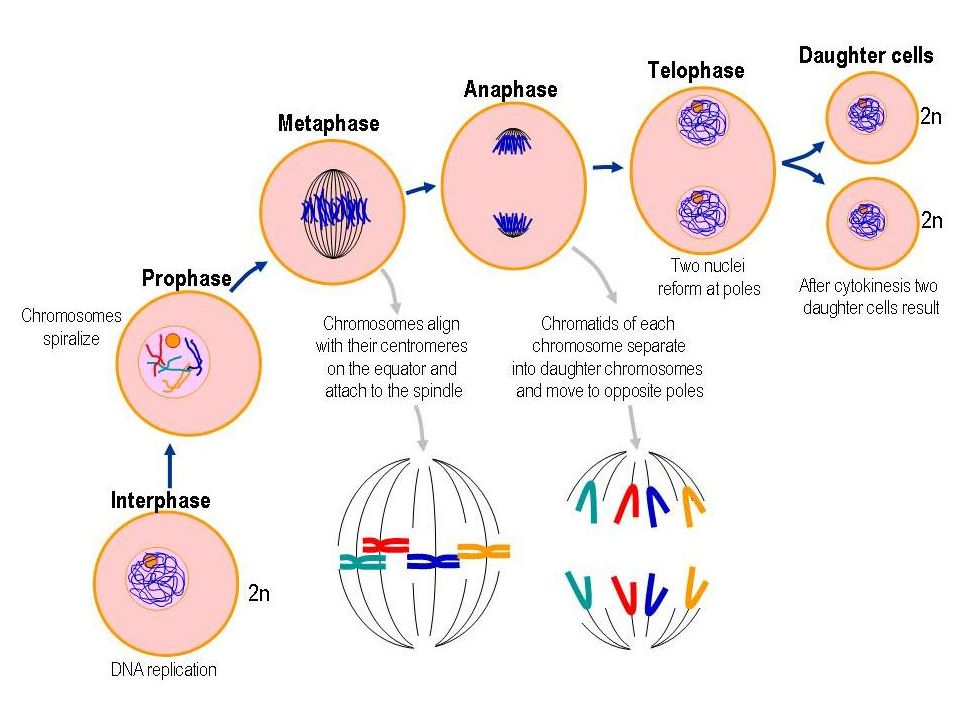 Mitosis meiosis ppt video online download 7 figure 127 exploring mitosis in an animal cell ccuart Choice Image