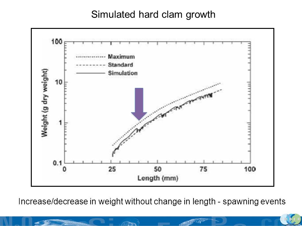 Simulated hard clam growth