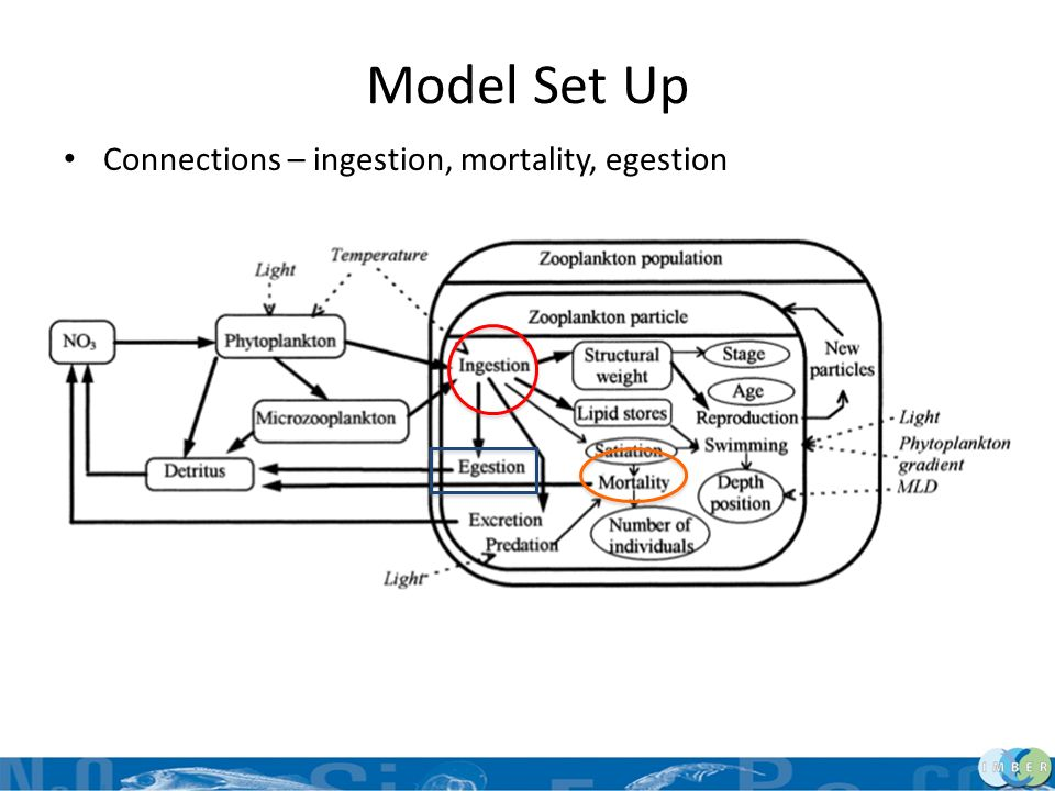 Model Set Up Connections – ingestion, mortality, egestion