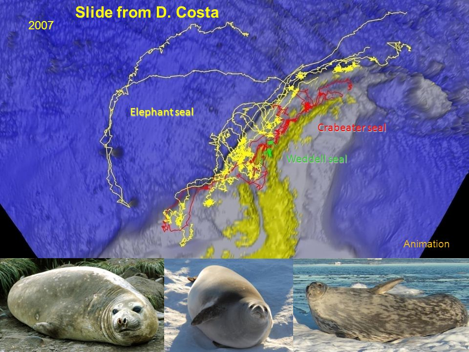 Slide from D. Costa 2007 Elephant seal Crabeater seal Weddell seal