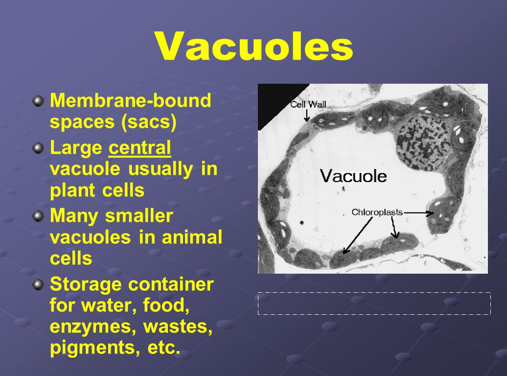 Vacuoles Membrane-bound spaces (sacs)