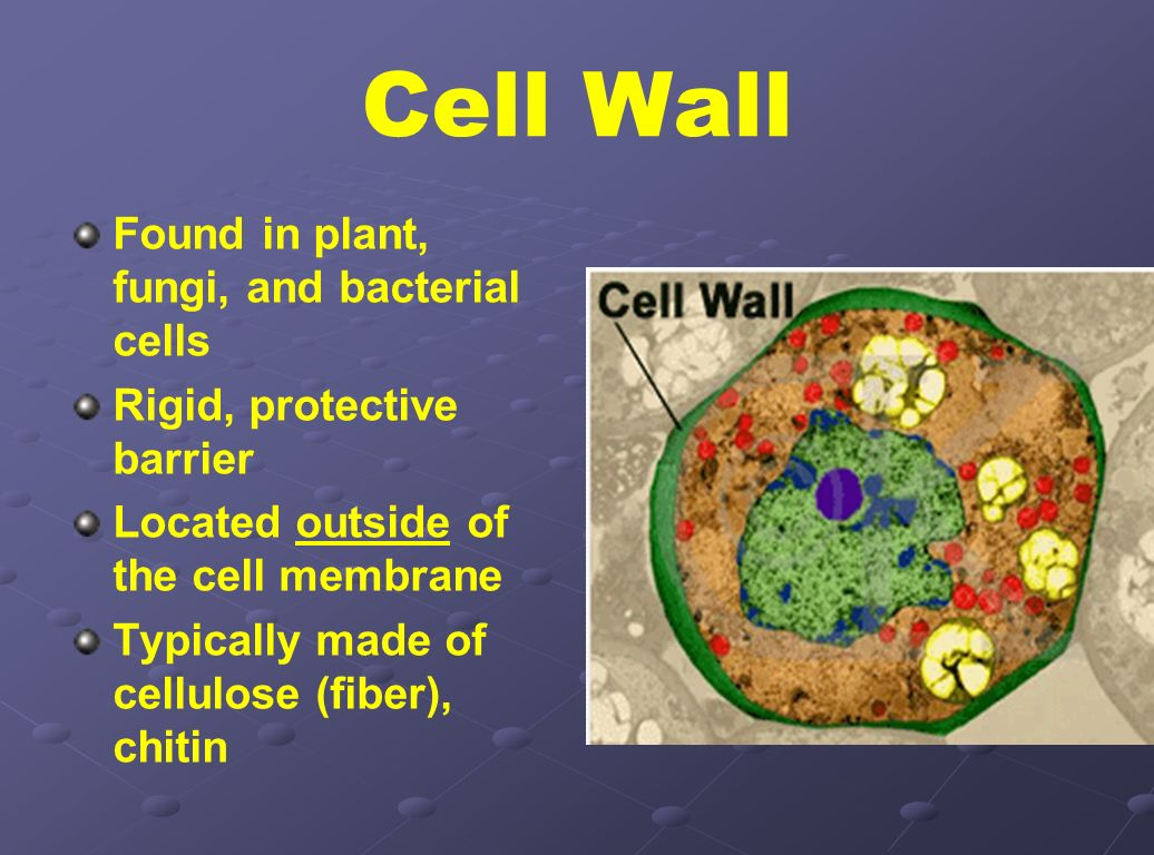 Cell Wall Found in plant, fungi, and bacterial cells