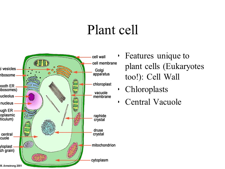 Vesicle in a plant cell