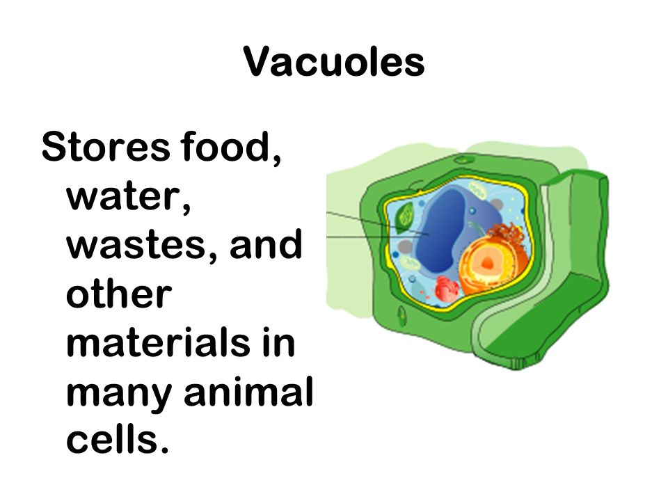 This Part Of The Cell Stores Wastes Water Or Food