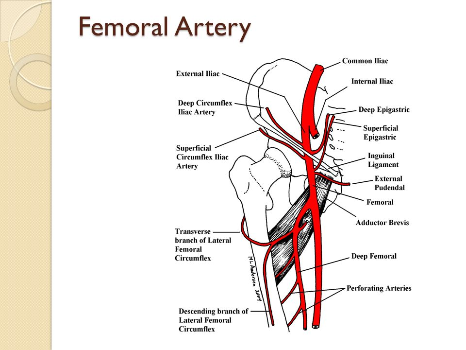 femoral vein to the lower lobe Femoral vein thrombosis refers to a blood clot that occurs in the femoral vein in your leg learn more about the symptoms and how you can prevent a blood clot.