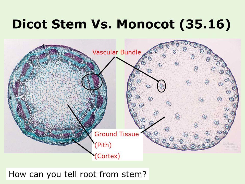 Anatomy of monocot and dicot stem