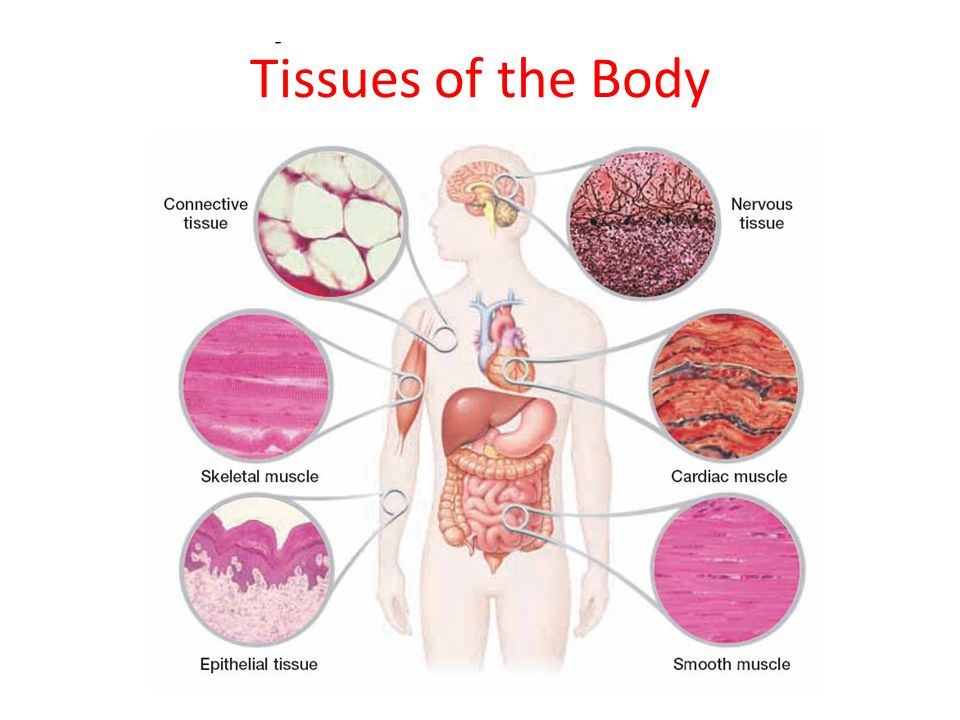 Tissues Of The Body Ppt Video Online Download