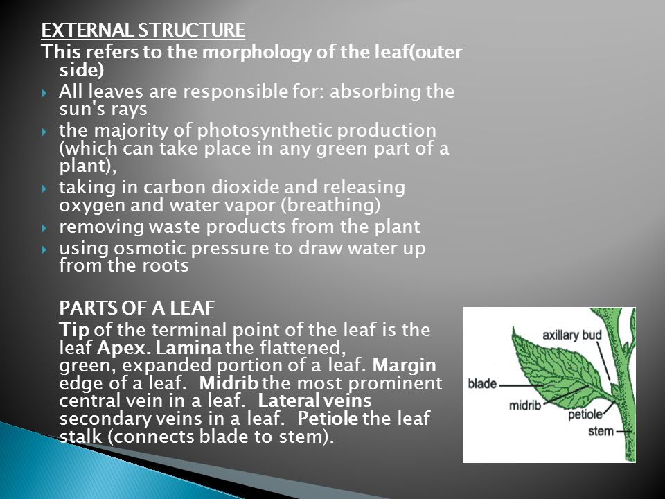 EXTERNAL STRUCTURE This refers to the morphology of the leaf(outer side) All leaves are responsible for: absorbing the sun s rays.