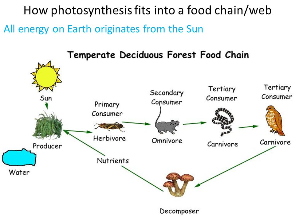 the importance of suns energy and photosynthesis Photosynthesis is a process in which light energy is used to produce sugar and other organic compounds learn how plants turn sunlight into energy.