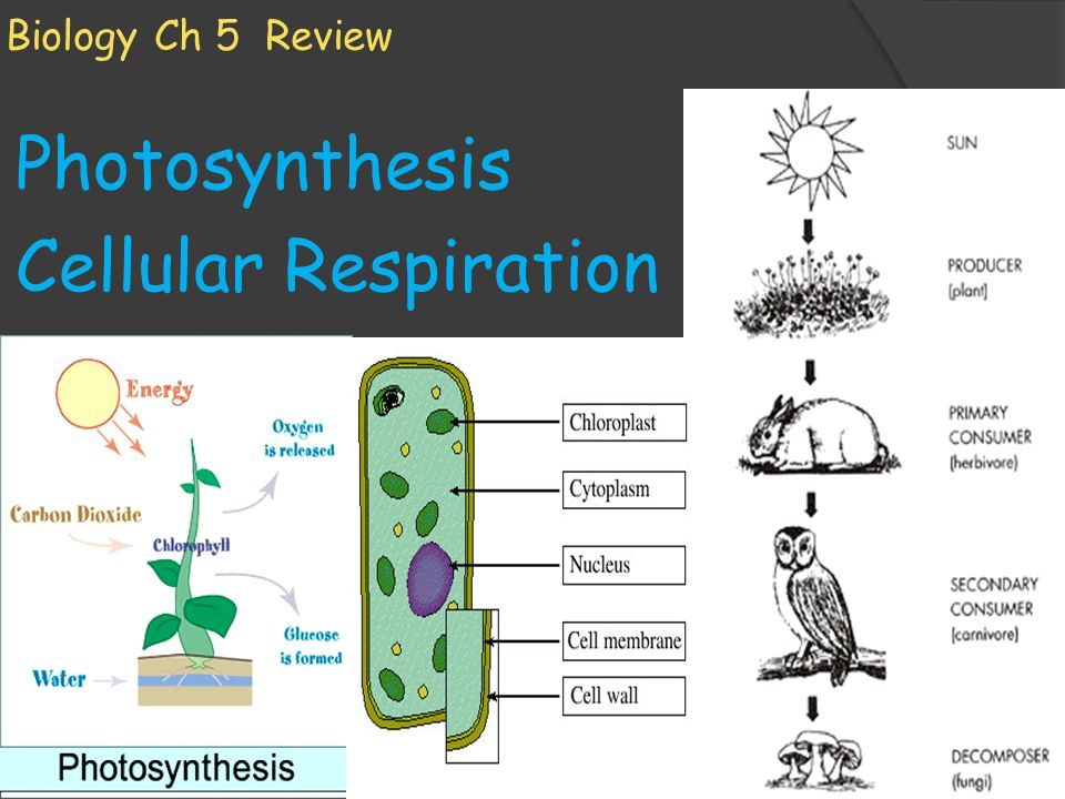 Photosynthesis cellular respiration ppt video online download photosynthesis cellular respiration ccuart Choice Image